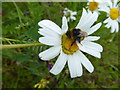 H4071 : Bee and daisy, Aghee by Kenneth  Allen