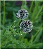 TQ1450 : Wildflowers of chalk downland: buds of knapweed by Stefan Czapski