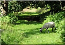SK2479 : Shorn sheep on the track from Bole Hill Quarry by Neil Theasby