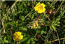SX9066 : Creeping cinquefoil, Nightingale Park by Derek Harper