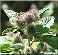 TG3203 : Greater burdock (Arctium lappa) - flower buds by Evelyn Simak