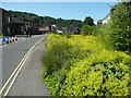 SD9321 : Alchemilla mollis, Rochdale Road, Walsden by Humphrey Bolton