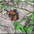 TG2804 : Small Copper butterfly (Lycaena phlaeas) by Evelyn Simak