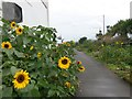 SZ1491 : Southbourne: sunflowers flank footpath I31 by Chris Downer