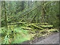 NY7282 : Fallen trees in Wark Forest by Graham Robson