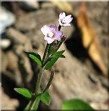 TM4599 : Square-stalked willowherb (Epilobium tetragonum) by Evelyn Simak