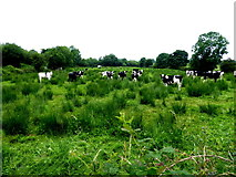 H6556 : Cattle at rushy ground, Skea by Kenneth  Allen