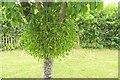 SX8178 : Mistletoe, Bovey Tracey by Derek Harper
