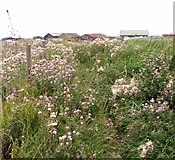 TM4599 : Creeping thistles beside the path to St Olaves by Evelyn Simak