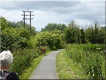 ST2426 : Deer on canal towpath at Bathpool by David Smith