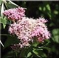 TG3206 : Hemp agrimony (Eupatorium cannabinum) - flower by Evelyn Simak