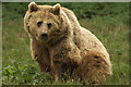 TL0017 : Eurasian Brown Bear, Whipsnade Zoo by Mark Anderson