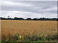 SP9404 : Field of oats by Robin Webster