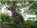 TG3303 : Ancient English oak in Peascod Lane by Evelyn Simak