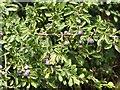 TG3303 : Blackthorn or sloe (Prunus spinosa) by Evelyn Simak
