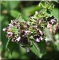 TG3303 : Black Horehound  (Ballota nigra) - flowers by Evelyn Simak