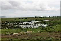NX4355 : Sheep by a Pool by Andrew Wood