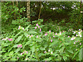 SE2436 : Himalayan Balsam in Bramley Fall woods by Stephen Craven
