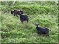 NT8011 : Wild goats near Rennies Burn by Andrew Curtis
