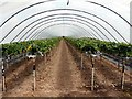 SK7588 : Polytunnel of strawberries by Graham Hogg