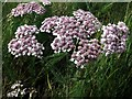 NT8211 : Yarrow (Achillea millefolium) by Blind Burn by Andrew Curtis