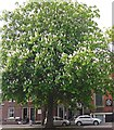 NY4055 : An urban horse chestnut tree in bloom by Rose and Trev Clough