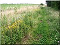 TG2405 : Common Fleabane (Pulicaria dysenterica) by Evelyn Simak