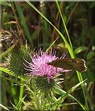 SX8158 : Butterfly on thistle near Sharpham Barton by Derek Harper
