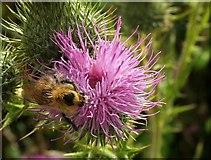 SX8158 : Bee on thistle near Sharpham Barton by Derek Harper