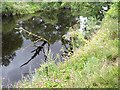 NZ2613 : Giant Hogweed on the banks of the River Tees by Oliver Dixon