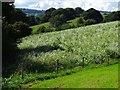 SK3050 : Sunflowers in a field by Ian Calderwood