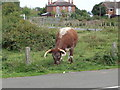 SO8271 : English Longhorn at Hartlebury Common by Jeff Gogarty