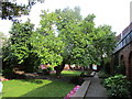 TA1028 : Mulberry tree in the garden of Wilberforce House by Jonathan Thacker