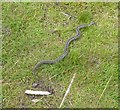 NZ0299 : Common Adder or Common Viper (Vipera berus) by Russel Wills