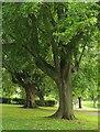 ST5975 : Lime trees. St Andrew's Park, Bristol by Derek Harper