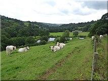 SS9208 : Cows and fishing lakes south of Ashilford by David Smith