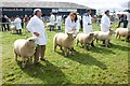 SM9618 : Sheep competition, Pembrokeshire County Show by Simon Mortimer