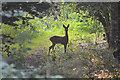 ST5500 : West Dorset : Deer : Week 34
