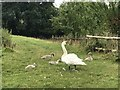 SJ7952 : Mute Swan family at Millend by Jonathan Hutchins