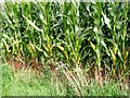 TM3893 : Ripening fodder maize by Evelyn Simak