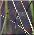 TF6729 : Black Darter, Dersingham Bog by Hugh Venables