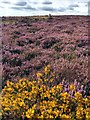 SK2778 : Gorse and heather on White Edge Moor by Graham Hogg