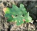 TG3106 : Gall mites on oak leaf by Evelyn Simak