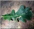 TG2806 : Leaf mine on oak by Evelyn Simak