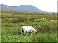 SD7579 : Sheep near Ribblehead by Stephen Craven