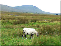 SD7579 : Sheep near Ribblehead by Stephen Craven