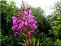 H2678 : Wild plants -4 , Aghakinmart by Kenneth  Allen