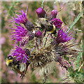 NJ5108 : Marsh Thistle with Bumblebees by Anne Burgess