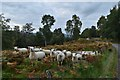 NH8000 : Sheep by the B970 Insh Road, Cairngorms by Andrew Tryon