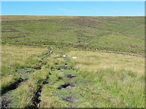 SX6781 : Rough Moorland Grass, Sheep and a Track by Tony Atkin